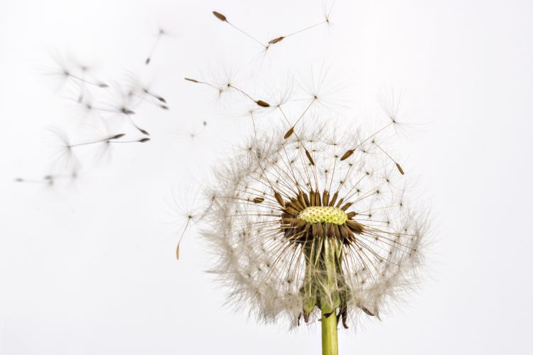 Dandelion | Spring Allergies | Indoor Air Quality | Duct Cleaning | HVAC Services